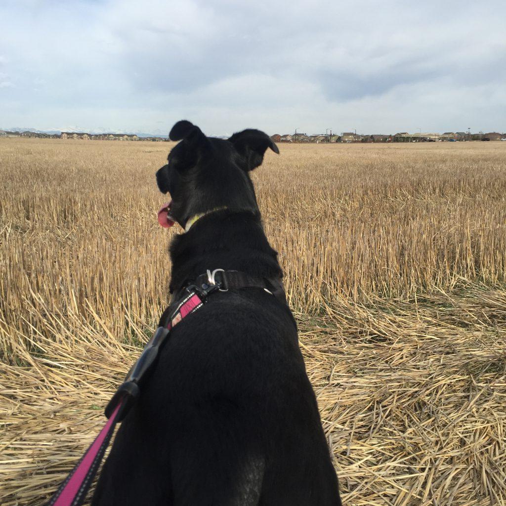 Nala, Dog, Run, Colorado, Plains, Beautiful
