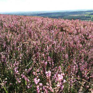 fields, heather, nature, purple, england, north york, york, moors