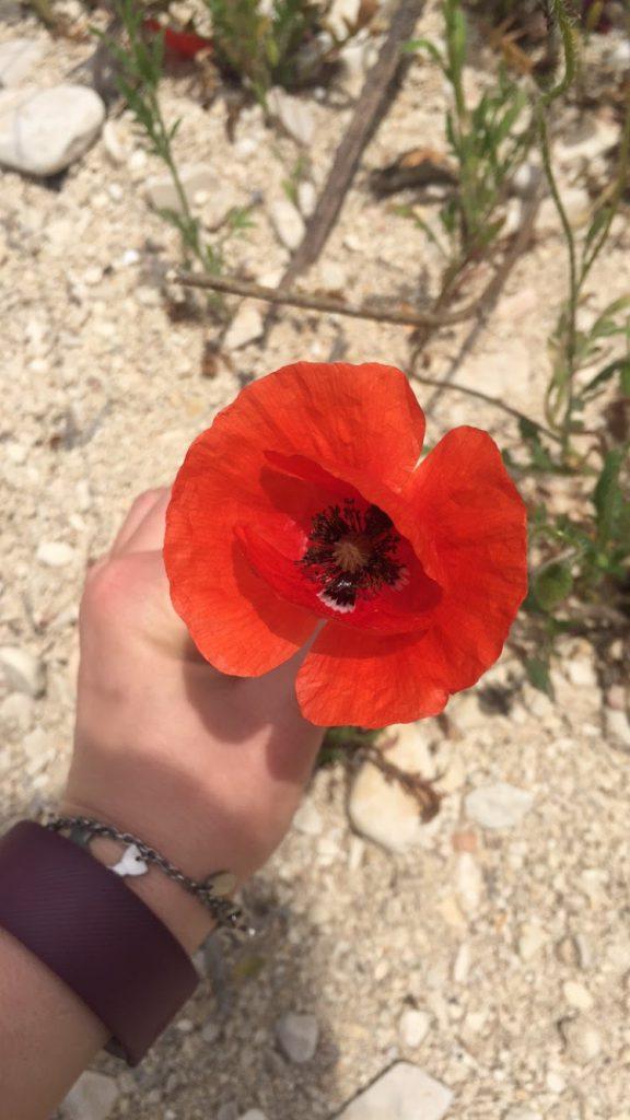 red poppy in spain