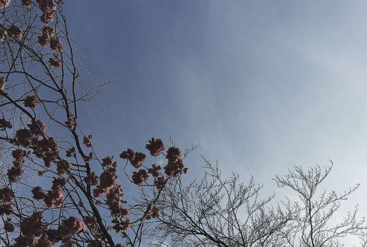 Cherry Blossoms in Hull